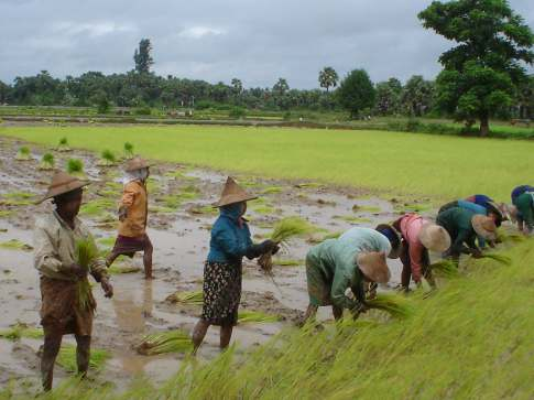 RICE FARMING IN MYANMAR