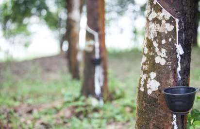 RUBBER PLANTATION IN MYANMAR