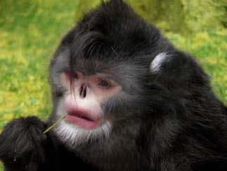 RARE SNUB NOSED MONKEY FOUND IN CHINA AND MYANMAR
