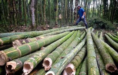 BAMBOO PLANTATION IN MYANMAR