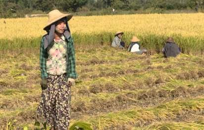 RICE PLANTATION IN MYANMAR