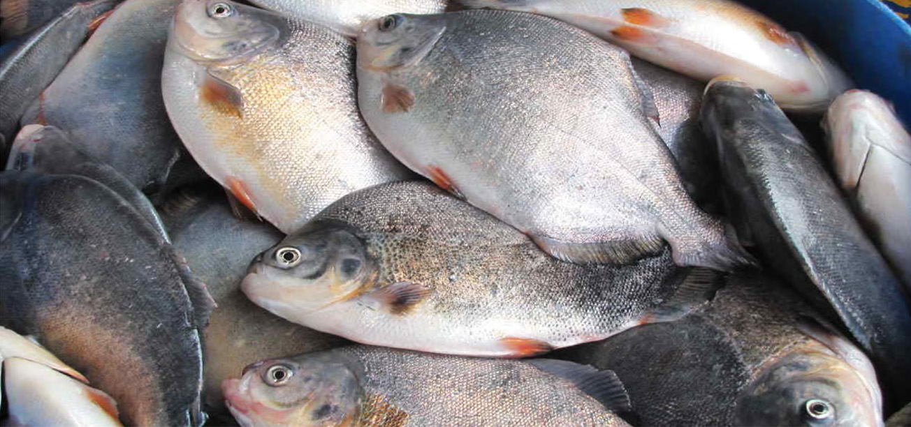 BESIDES AGRICULTURAL PRODUCTS MYANMAR ALSO EXPORTS FISH