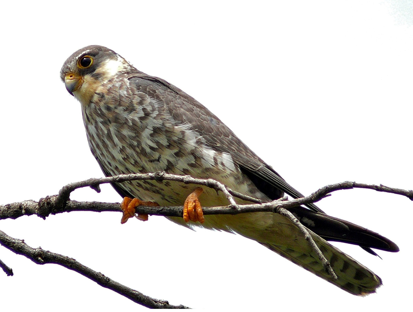 MANIPUR' S PHALONG VILLAGE HAS BEEN DECLARED THE AMUR FALCON VILLAGE