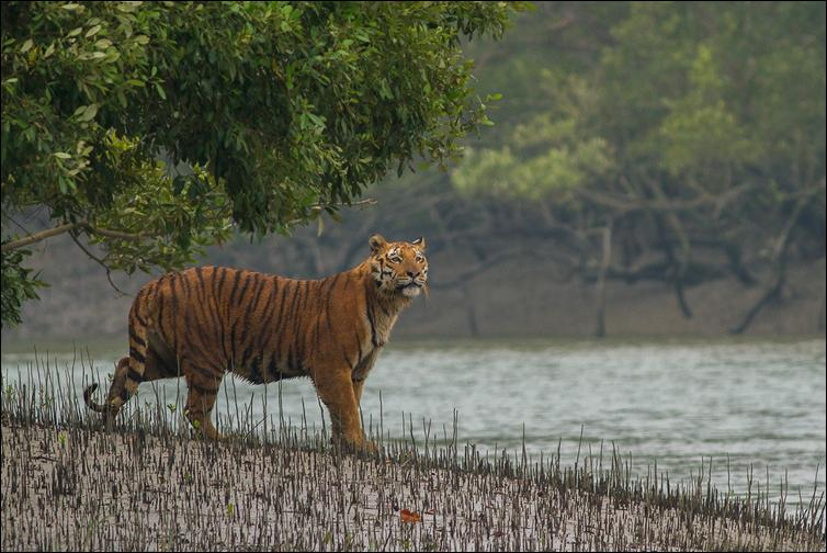 Tiger Consrvation in the Sunderbans